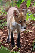 Young Fox Exploring 2