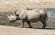 Female Black Rhino