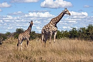 Mother and young Giraffe - Botswana
