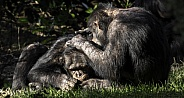Two Chimpanzee's Grooming Each Other