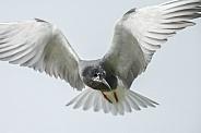 The black tern (Chlidonias niger)