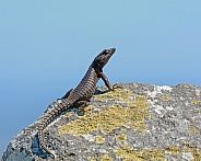 Black Girdled Lizard