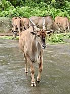 Giant eland