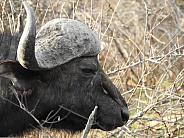 African Buffalo with Oxpecker