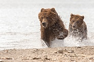 Pair of Brown Bears