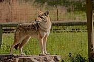 Coyote howling