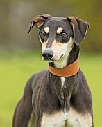 Black and Tan Lurcher