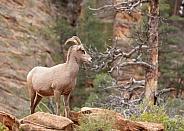 Desert big horned sheep, Ovis canadensis nelsoni