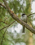 Juvenile Black-capped Chickadee