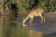 Puku Antelope (kobus vardonii)