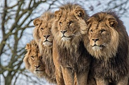 African Lions (Panthera Leo)