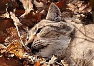 Relaxing Lynx