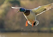 Drake Mallard in Flight