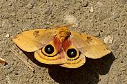 Io Moth - Automeris io