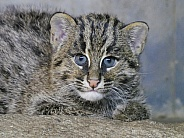 Fishing Cat Cub Kitten