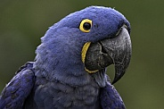 Hyacinth Macaw Face Shot Close Up