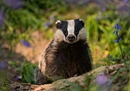 European Badger