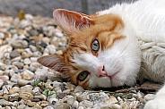 House cat (Felis catus)