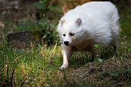white racoon dog