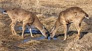 Sitka Black-tailed Deer in Alaska
