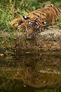 Lazing Sumatran Tiger Cub