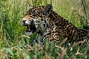 Jaguar growling.