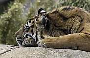 Sumatran Tiger Close Up Asleep