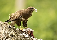 Wild Common Buzzard on Wood Pigeon Carcass