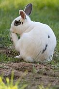 Barnyard Rabbit