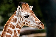 Rothschild's Giraffe Calf Close Up