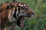 Sumatran Tiger Yawn