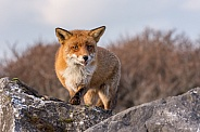 Fox on the stones