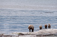 Brown Bear with three cubs walking on a beach