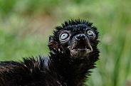 Blue-eyed Black Lemur
