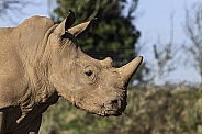 Young White Rhino Side Profile