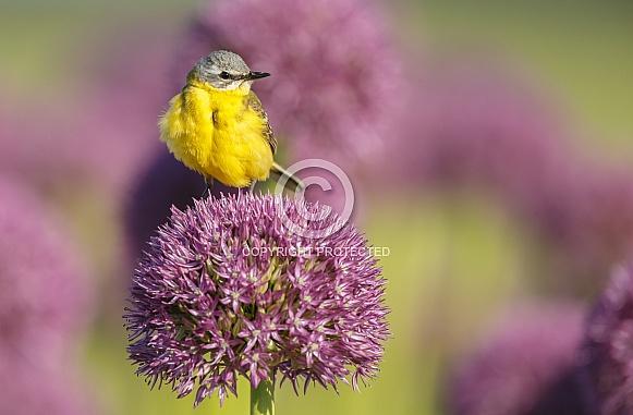 Yellow Wagtail bird
