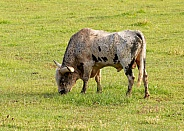 Texas Longhorn, Bos taurus, cattle