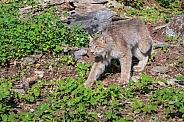 Canada Lynx - Male