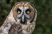 Hybrid Owl Species Face Shot Looking At Camera