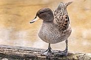Duck Full Body Standing On Log
