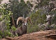 Ovis canadensis nelsoni, desert big horned sheep