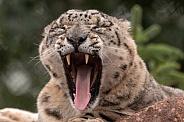 Snow Leopard Full Yawn Teeth