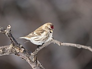 Common Female Redpoll Perching on a Branch