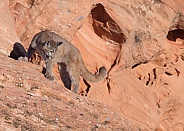 mountain lion, puma, concolor