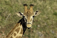 Kordonfan Giraffe, head shot looking forward