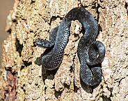 black adder on tree trunk