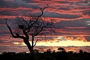 Marabou Storks roosting in a dead tree - Botswana