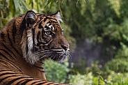 Sumatran Tigress (Panthera Tigris Sumatrae)