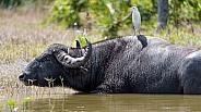 Cape Buffalo and Ibis