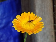 Hoverfly on English marigold